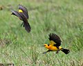 Saffron-cowled blackbirds in flight.jpg