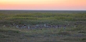 Chyornye Zemli Nature Reserve - Saiga in Chornye Zemli Nature Reserve