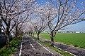 Sakura of Jofuku Cycle Road in Morodomi 01.jpg