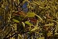 Salix tetrasperma Indian Willow tree from Anaimalai Tiger Reserve JEG1574.JPG