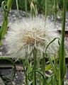 Salsify (Tragopogon sp.) - Kitchener, Ontario.jpg