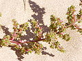 Salsola kali flowers.jpg