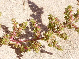 Kali (plant) - Image: Salsola kali flowers