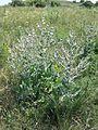 Salvia aethiopis sl7.jpg