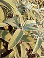 Salvia officinalis - φασκόμηλο 01.jpg