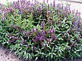 Salvia officinalis Habitus DehesaBoyalPuertollano.jpg