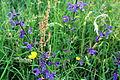 Salvia pratensis, Rumex acetosa und Ranunculus acris am Kordigast.jpg