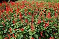 Salvia splendens W IMG 4269.jpg