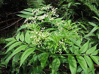 Sambucus gaudichaudiana - Sambucus gaudichaudiana at Mount Donna Buang, Victoria