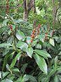 Sanchezia speciosa (7189171471).jpg