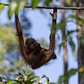 Sandakan Sabah Sepilok-Orangutan-Rehabilitation-Centre-12.jpg