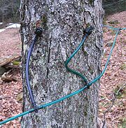 Two taps in a maple tree, using plastic tubing for sap collection.