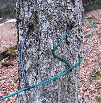 Maple syrup - Two taps in a maple tree, using plastic tubing for sap collection