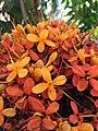 Saraca asoca flowers.jpg