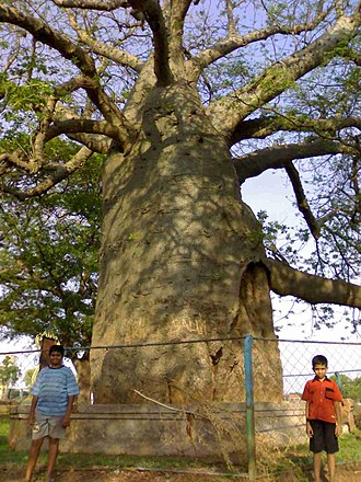 Savanur - Image: Savanur Baobab 06052007318