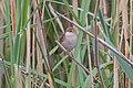 Savi's Warbler (Locustella luscinioides) (14180458838).jpg