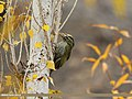 Scaly-bellied Woodpecker (Picus squamatus) (15707743328).jpg