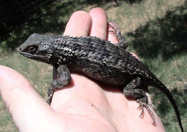 Texas Spiny Lizard