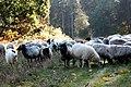 Schafe in der Holtwicker Wacholderheide.jpg