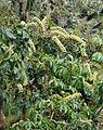 Schefflera rodriguesiana, the Papayillo Tree (9482835010).jpg