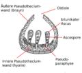 Scheme Pseudothecium von Didymella brioniae.png