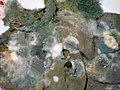 Schimmelpilzrasen (mehrere Arten) auf Zitronenscheiben, 01.jpg