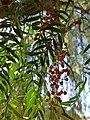 Schinus areira (Family Anacardiaceae) - Drupe.jpg