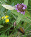 Schlitz Eisenberg Spider Prunella vulgaris Pieridae.png
