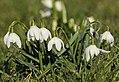 Schneeglöckchen (Galanthus sp.) in den Drebacher Krokuswiesen..IMG 7584OB.jpg