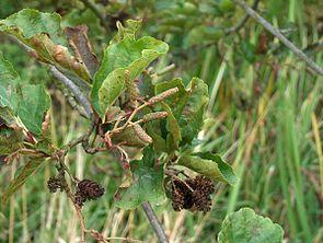 Schwarz-Erle (Alnus glutinosa), unreife Blütenkätzchen und alte Fruchtstände