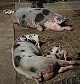 Schweinereien ;-) im Tiergarten Worms.JPG