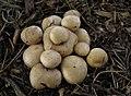Scleroderma cepa group 442246.jpg