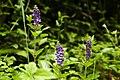 Scutellaria indica 3.jpg