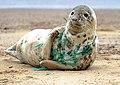 Seal entangled in plastic netting.jpg