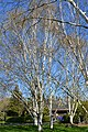 Seattle - Birches near the Ceramic and Metal Arts Building, University of Washington - 04.jpg