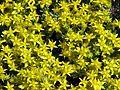 Sedum acre flowering 01.jpg