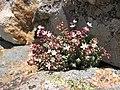 Sedum brevifolium.jpg