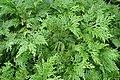 Selaginella pallescens kz07.jpg