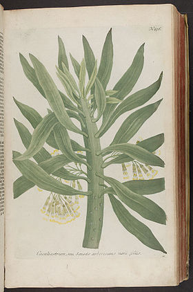 Senecio arborescens illustration original scan.jpg