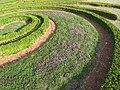 Serpolet dans jardin à la française.jpg