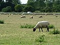 Sheep grazing by A14 - geograph.org.uk - 1405830.jpg