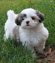 A Shih Tzu puppy