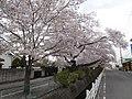 Shinkawa Cherry Blossom Avenue Apr. 2, 2021, 2.jpg