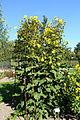 Silphium perfoliatum - Bergianska trädgården - Stockholm, Sweden - DSC00149.JPG