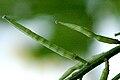 Sinapis.arvensis3.-.lindsey.jpg