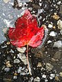 Single red maple leaf.jpg