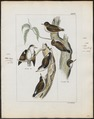 Sittella chrysoptera - 1820-1860 - Print - Iconographia Zoologica - Special Collections University of Amsterdam - UBA01 IZ19200337.tif