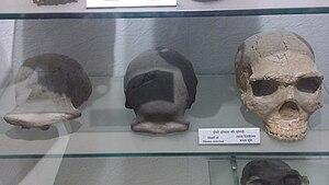 Homo erectus - Skull of Homo erectus, Indian Museum