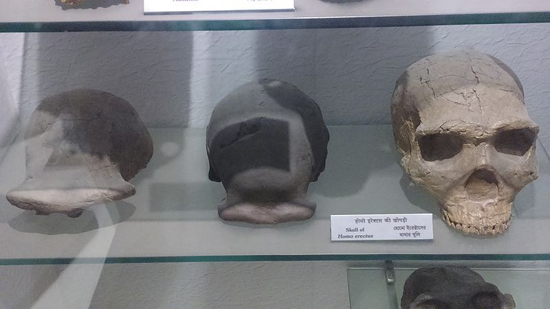 Skull of Homo erectus, Indian Museum, Kolkata.jpg