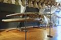 Slottsfjellsmuseet Museum Hvalhallen (Whale Hall) Tønsberg, Norway. Hvalskjelett av finnhval (Old skeleton of a fin whale 1895 Balaenoptera physalus) etc 2020-01-21 2299.jpg